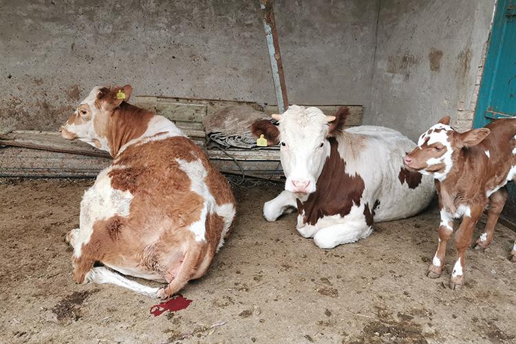 西海固最后一个贫困县:补贴贷款养牛,期货对冲风险