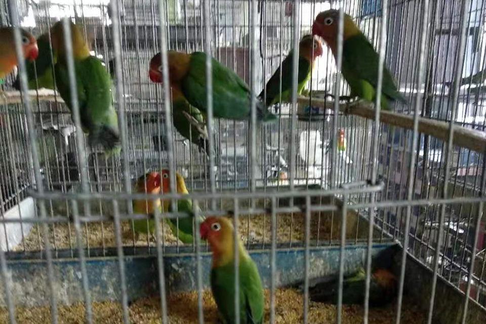 """养殖门槛低,售价只有20元买卖:""""烂大街""""的鹦鹉,为何会有牢狱之灾?"""