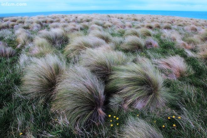 新西兰/新西兰南岛的最南端(Slope point),小花与草垛。...