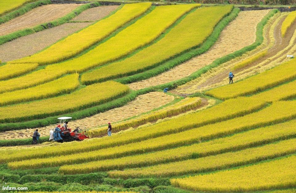 大理水稻成熟,田野里一片丰收景象,村民们开始下田抢收稻谷.-