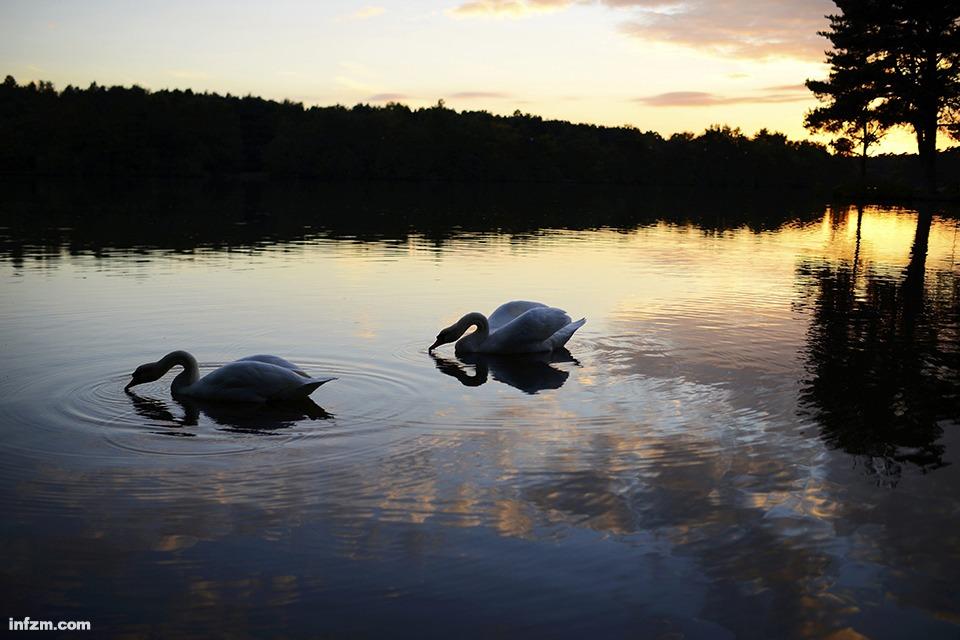 在英国霍利湖,两只天鹅在夕阳下游弋.(新华社/路透/图)-一周环图片