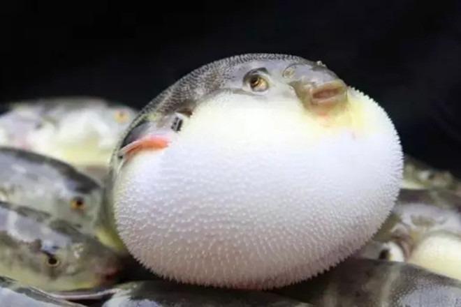 日本人为何要请李鸿章吃河豚? - 天在上头 - 我的信息博客