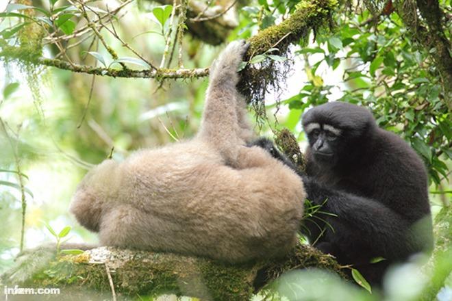 2007年,范朋飞等研究人员开始对白眉长臂猿的历史分布区进行全面调查,进入了高黎贡山。在前期的种群数量调查和后续的野外观察中,研究者们拍摄了大量的白眉长臂猿照片。 范朋飞注意到,高黎贡山的白眉长臂猿在形态特征上与典型的东白眉长臂猿有明显的差异。2010年以后,他真正意识到这可能是一个新种。 为了彻底搞清天行长臂猿的分类地位,范朋飞和昆明动物所蒋学龙研究员、何锴博士联合美国、英国、德国、澳大利亚等国家的灵长类分类学家,从外部形态特征、牙齿几何形态学和分子遗传学等多个方面对天行白眉长臂猿与典型的东白眉长臂猿进