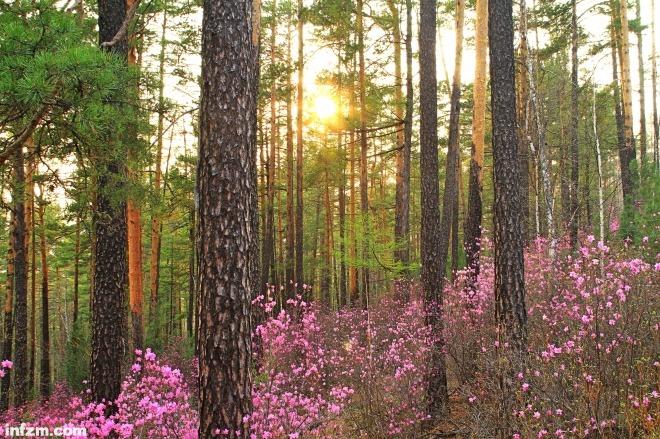 """一到春天,黑龙江省大兴安岭地区的野生杜鹃漫山遍野,成为一道美丽风景,因此又被称为""""满山红""""。视觉中国"""