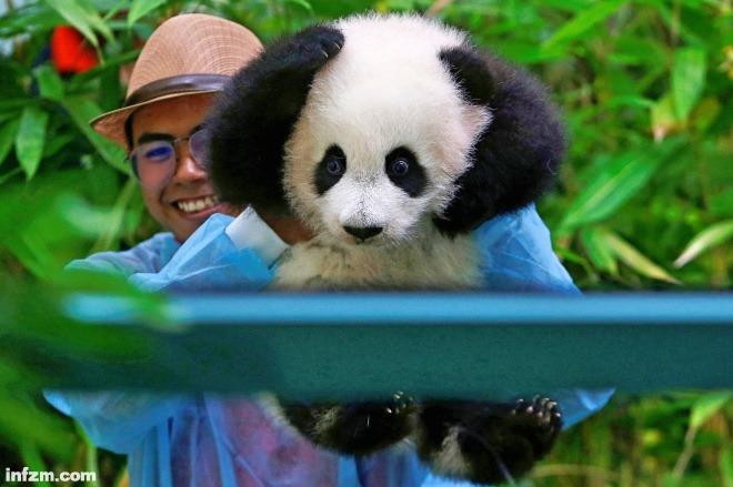 """(视觉中国/图) 当地时间2018年5月26日,马来西亚首都吉隆坡,马来西亚国家动物园,旅马大熊猫""""靓靓""""的第二个宝宝首次亮相,一脸呆萌超可爱。 这只雌性熊猫宝宝出生于1月14日,目前还没有取名,是雌性大熊猫""""靓靓""""和雄性大熊猫""""兴兴""""的孩子。"""