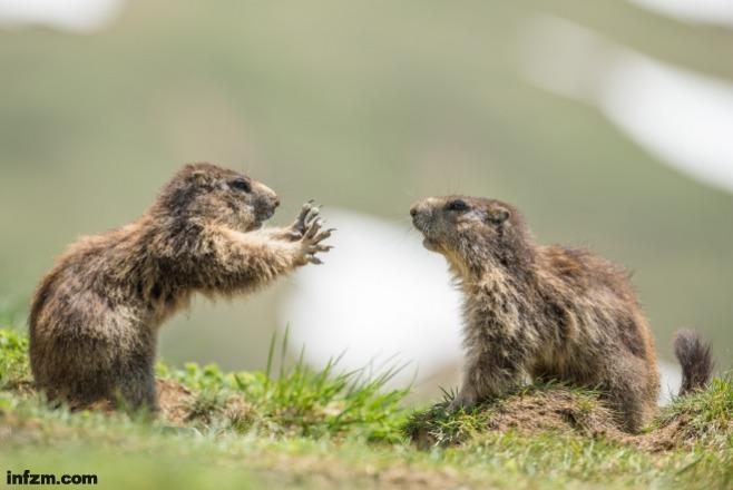 土拨鼠遇上照相机 演技爆发戏精附体