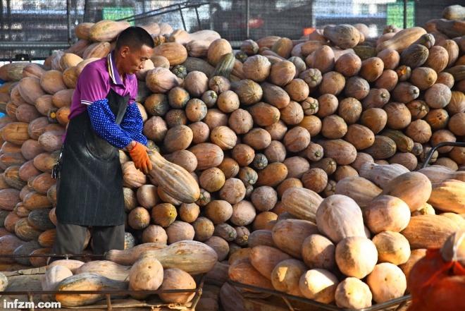 一名菜农在和人一样高的南瓜墙前搬运。
