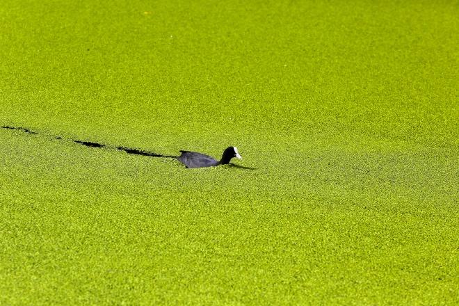 每日壹图:英国|疯狂的绿藻