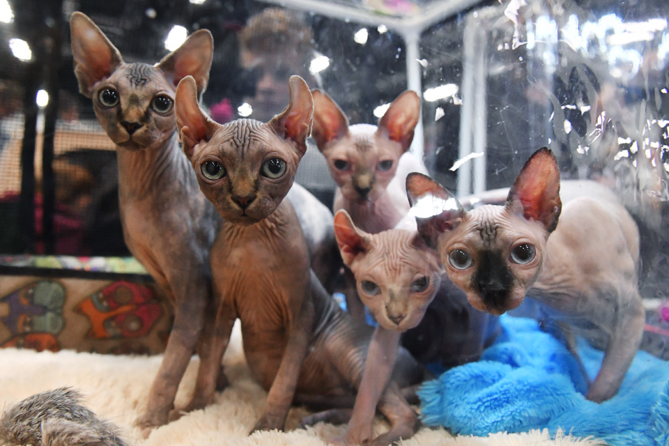 2019国际爱猫展