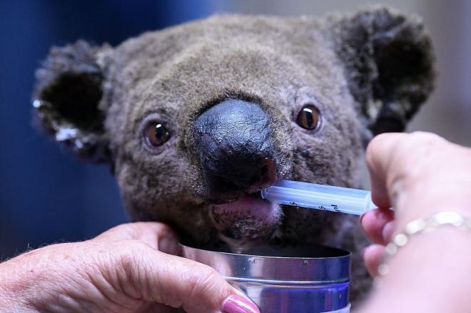 一只受伤的树熊正在动物医生的协助下进食。
