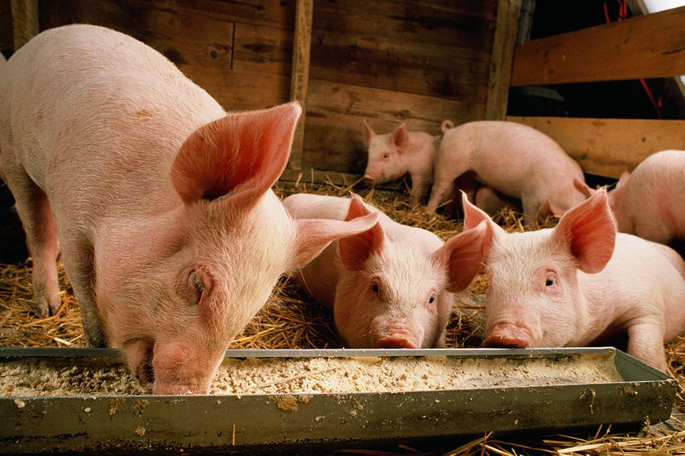 名校毕业生养猪:读书不好连养猪都不够格?
