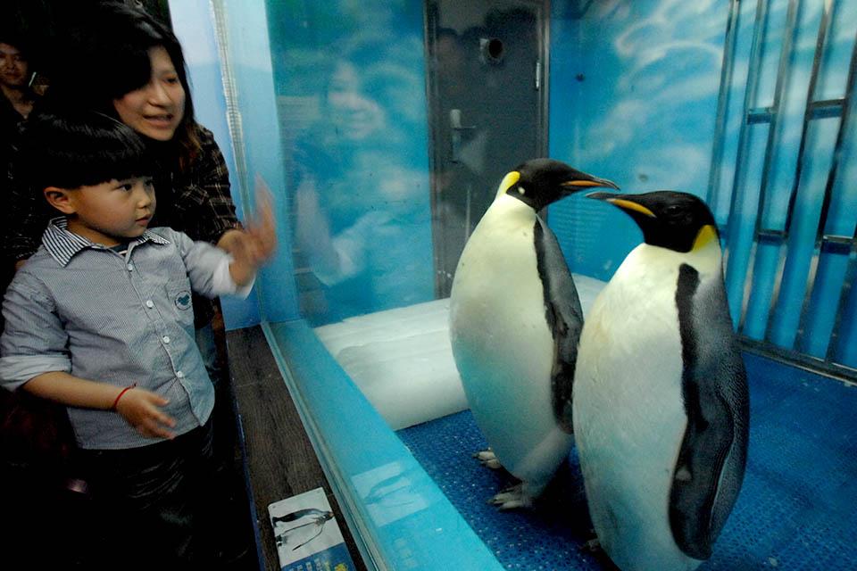 八十年后南极帝企鹅或将灭绝