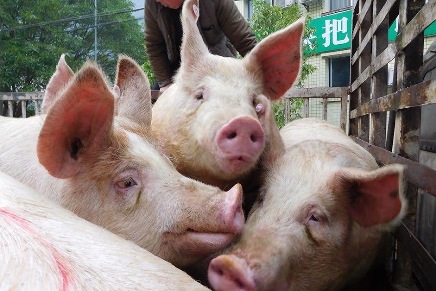 猪价上涨因为环保禁养?专家:时间、数量对不上