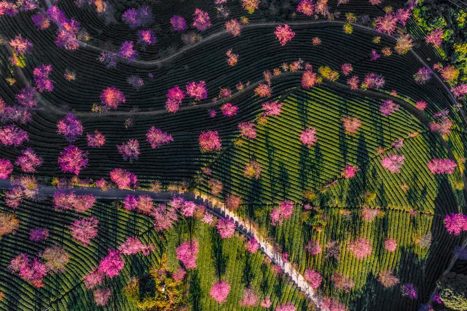 云南迎来赏樱季