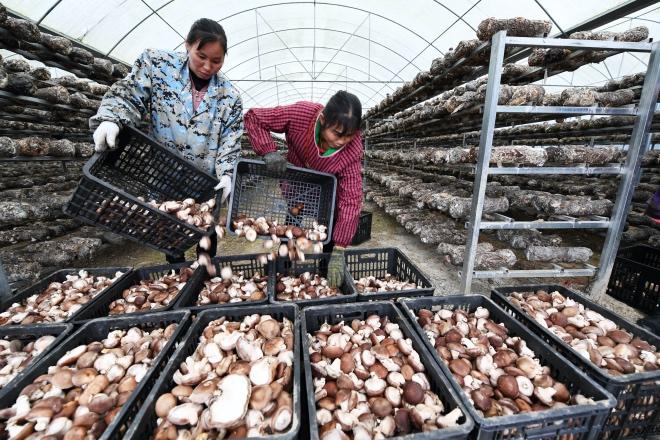 村民将香菇装满胶篮,准备运向市场。