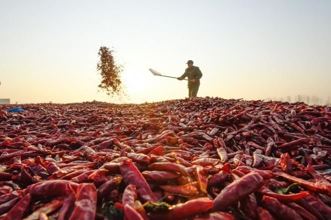 每日壹图:中国|辣椒红似火