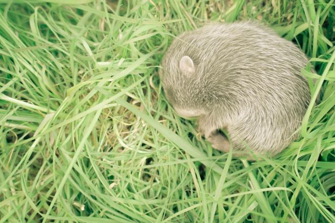 《大家小說 | 鍋里的秘密》(圖文無關)竹鼠雖是山上的東西,卻不多見,偶爾見到了也很難抓到。另外我喜歡它的模樣,不忍心抓它吃它。