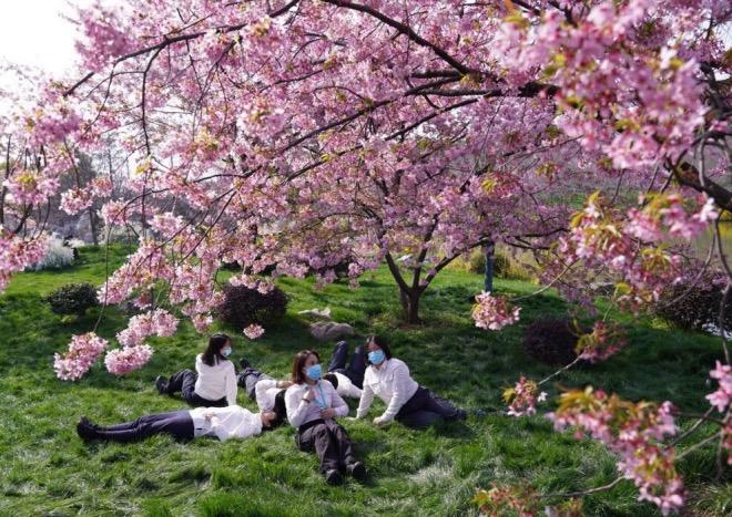 一批医护人员在樱花树下休息。