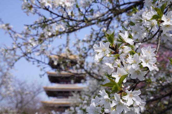 盛開的櫻花。2