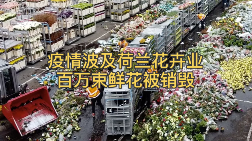 视频|疫情波及荷兰花卉业 百万束鲜花被销毁(封面)