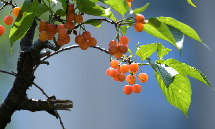 地理网稿:唐代的樱桃自由