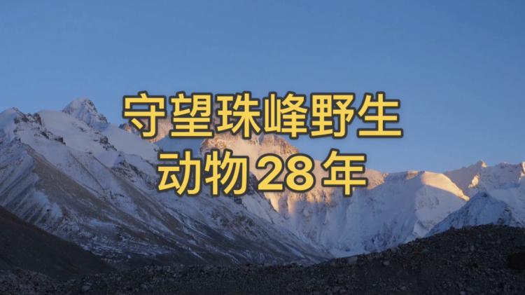 視頻|守望珠峰野生動物28年(封面)