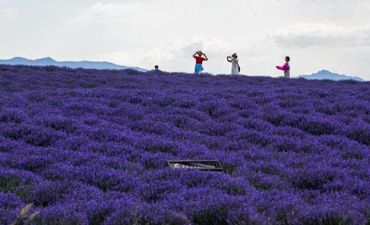 在新疆盛开的薰衣草