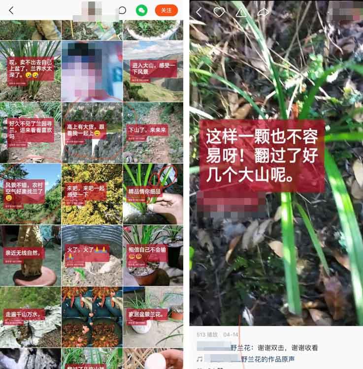 """国家网信办发文,平台自查下架濒危植物视频,但仍有""""挖野兰花""""在线"""