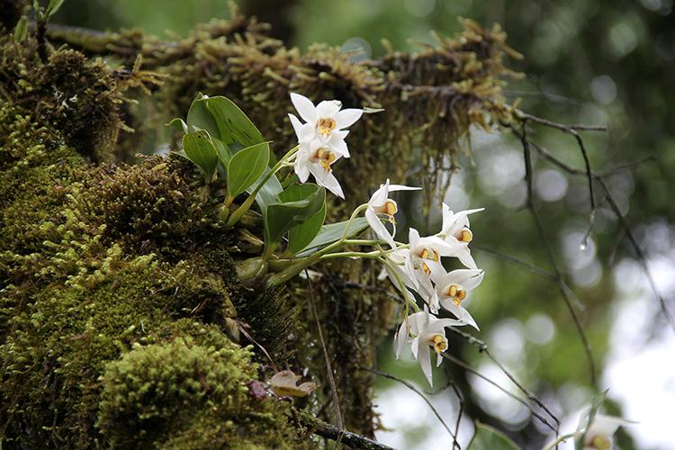 保护野生植物名录21年迎大改,1/3新增种类为兰科,珙桐、红豆杉属降级