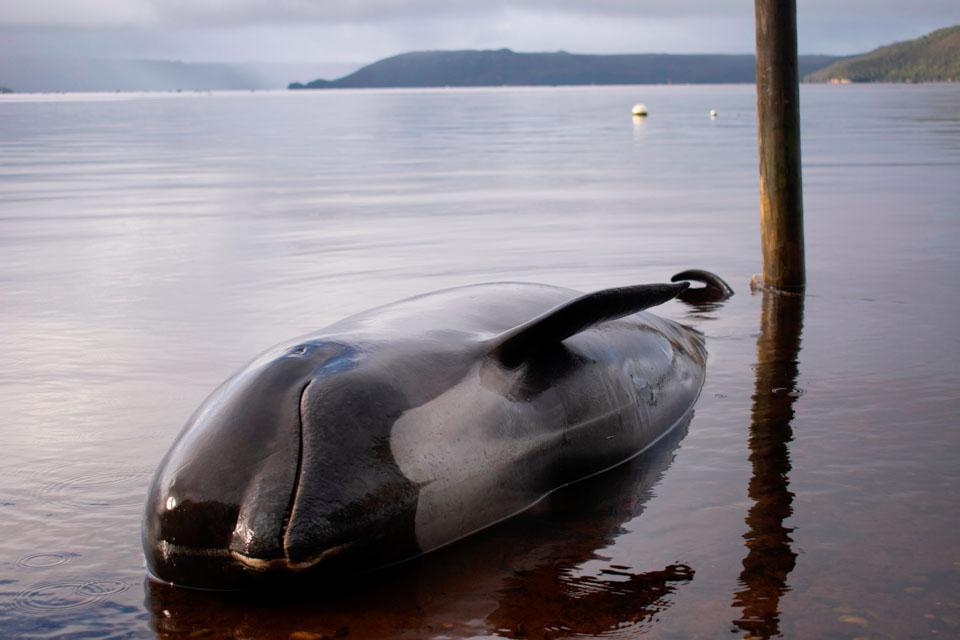 瞬間一周丨大量鯨魚擱淺澳洲海邊