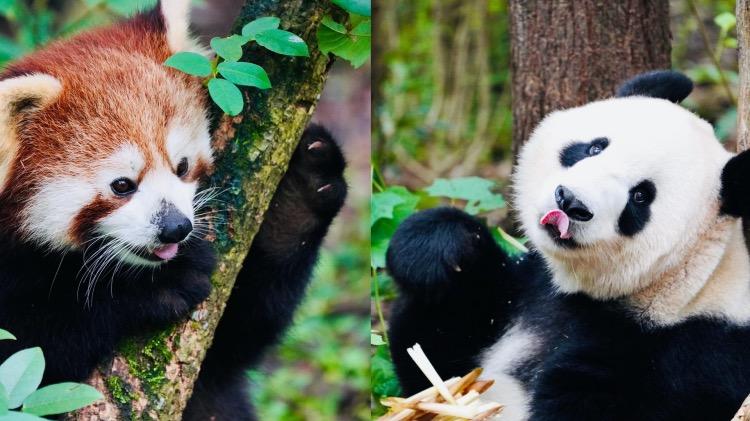 熊貓會功夫更會賣萌(視頻封面)
