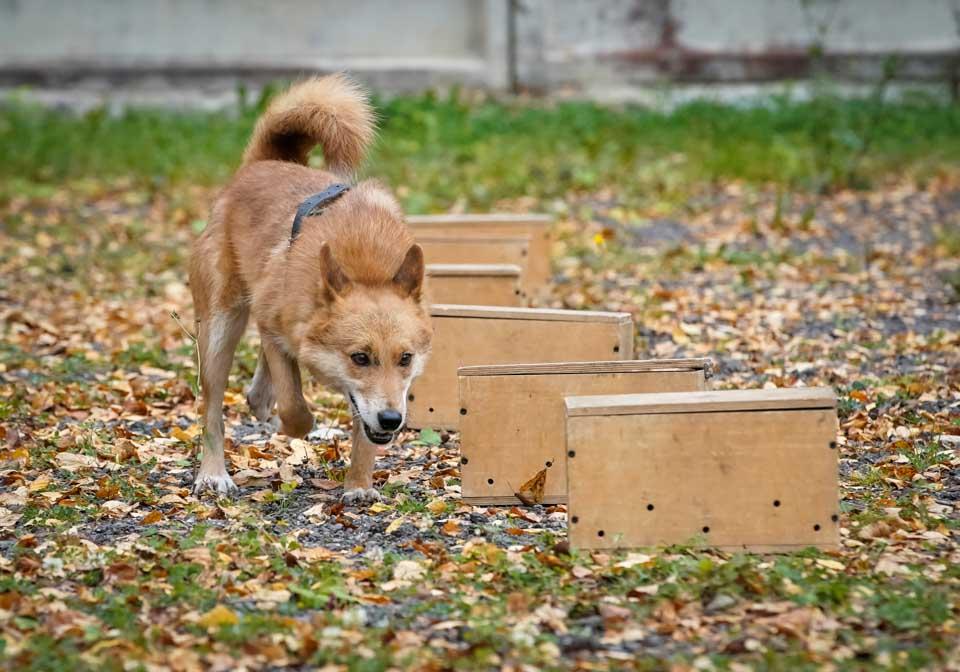 俄罗斯训练嗅探犬探测新冠病毒