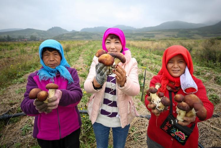 村民展示采摘到的赤松茸。