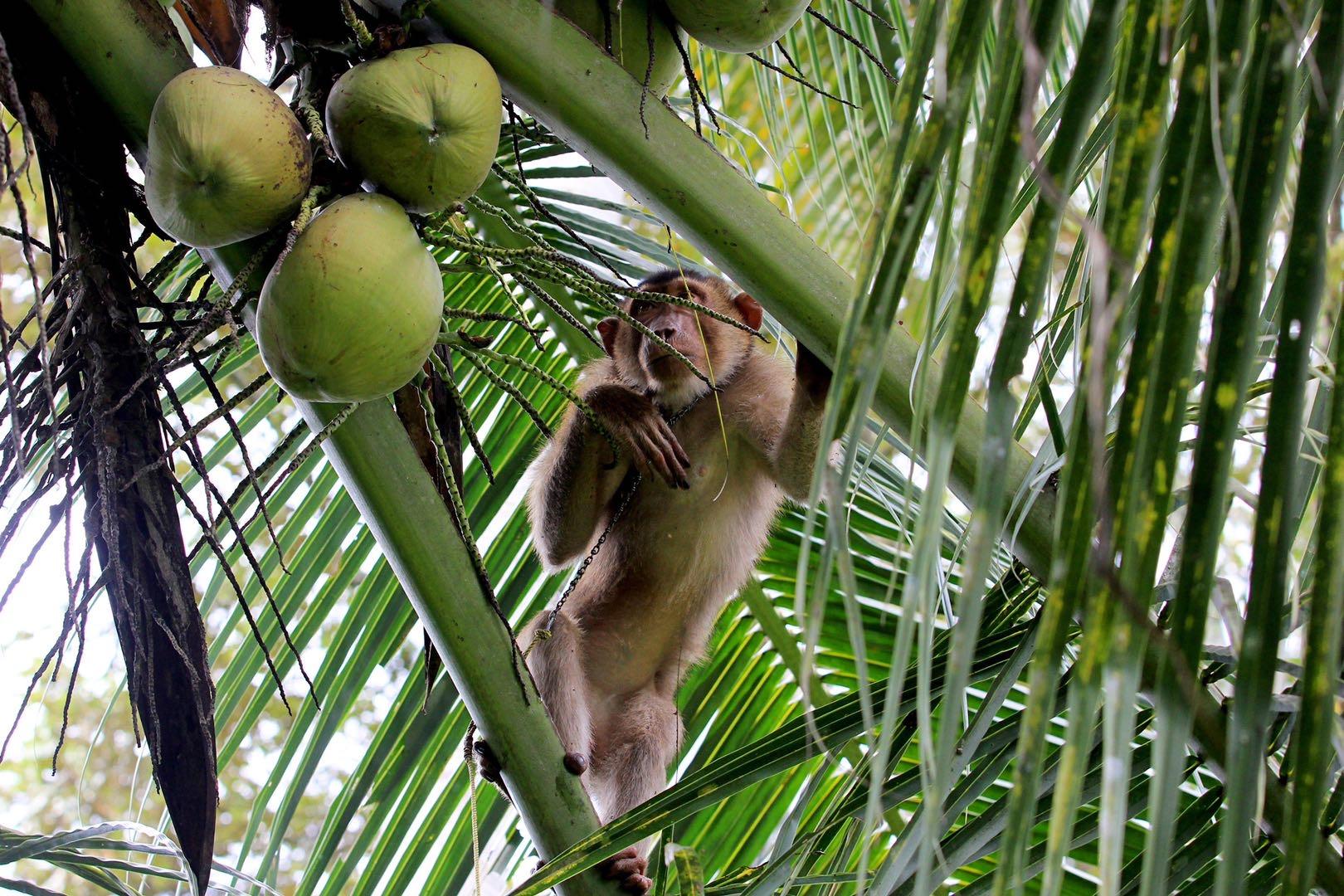指控泰国农民让猴摘椰子是奴役动物:是人道,还是霸凌?
