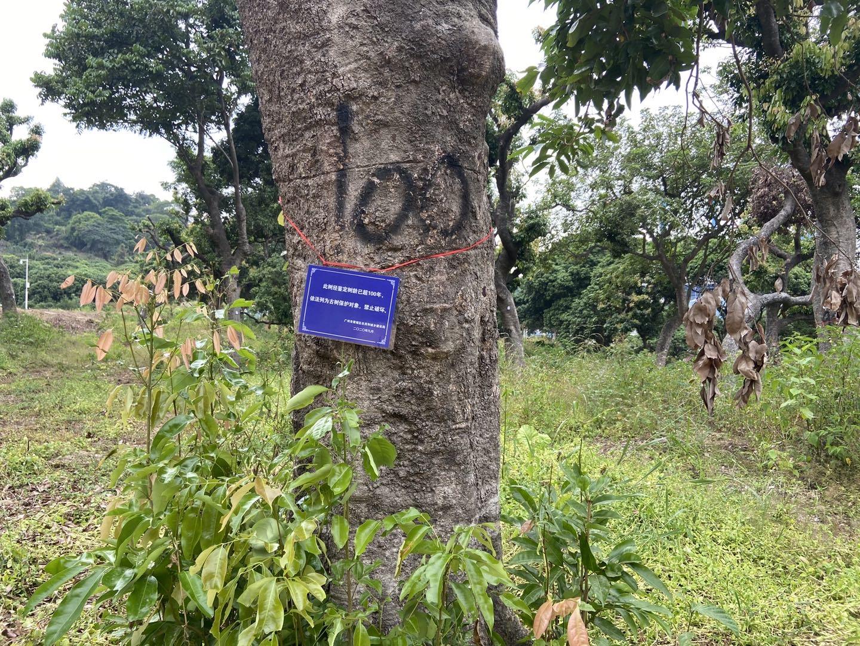 13 被毀的古荔枝樹