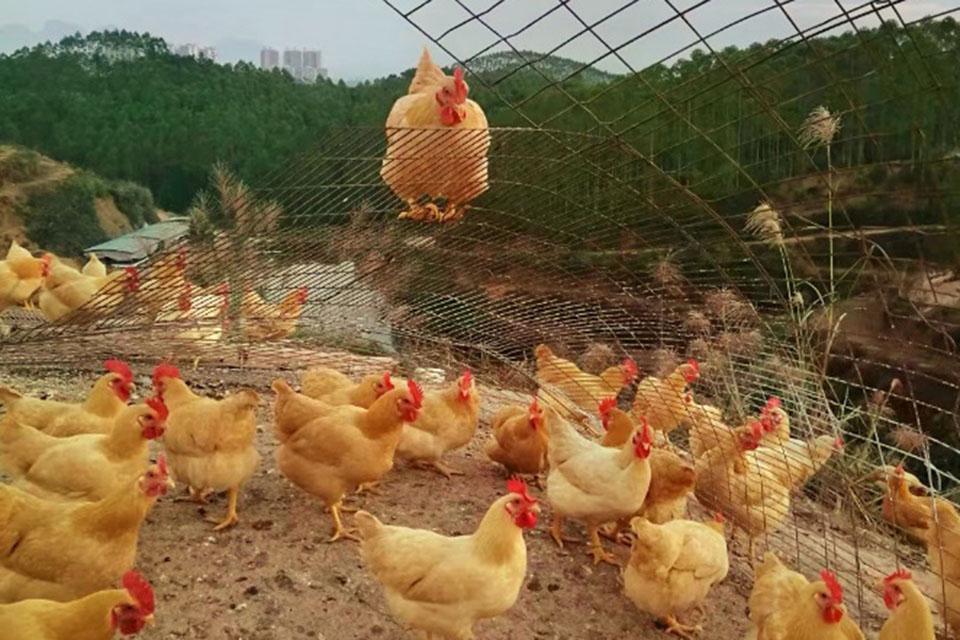 科技喚起家鄉記憶中的土雞味