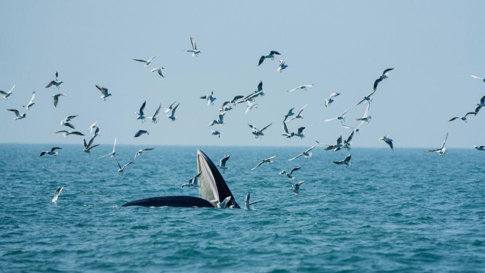 01 涠洲岛海域发现布氏鲸