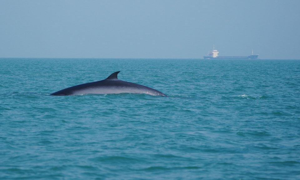 涠洲岛海域发现布氏鲸