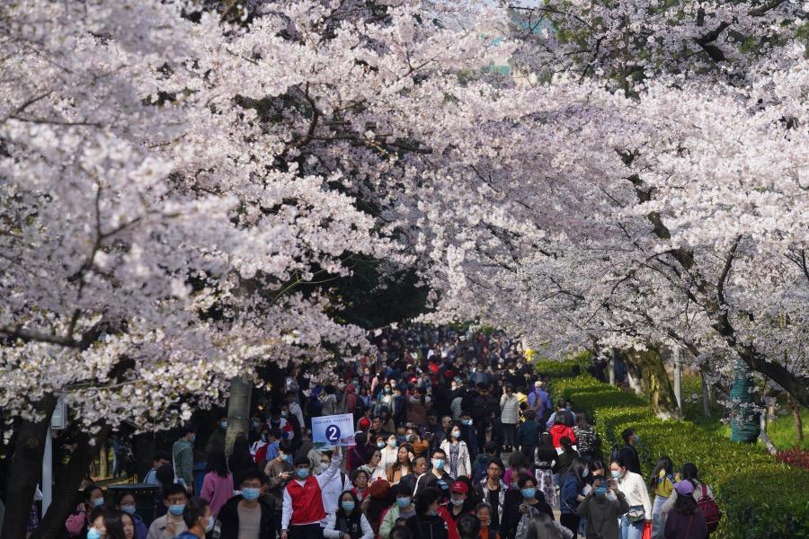 樱花大道下赏花的医护人员。据统计,有来自全国各地援鄂抗疫医护人员及家属近1.2万人赴约赏樱。
