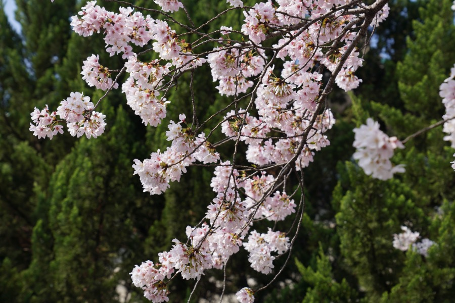 武汉大学里盛开的樱花。