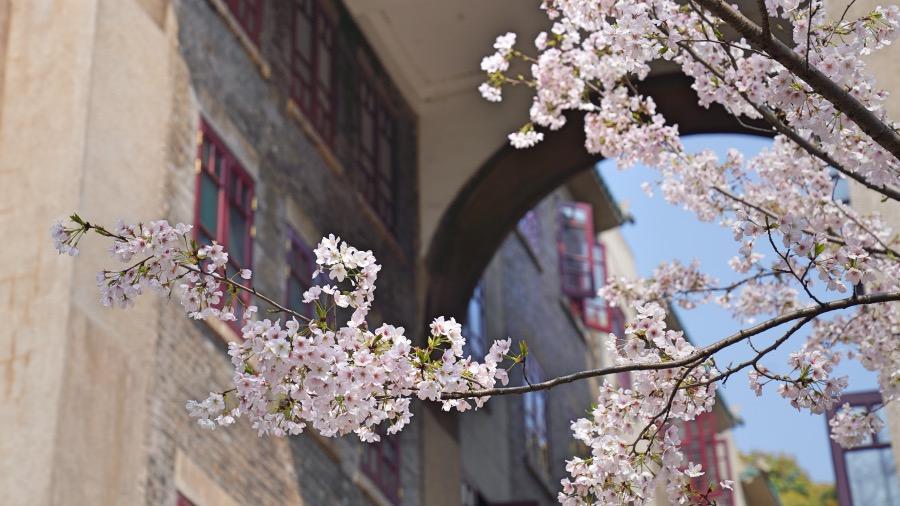 武漢櫻花盛放 迎接最珍貴的客人(視頻封面)