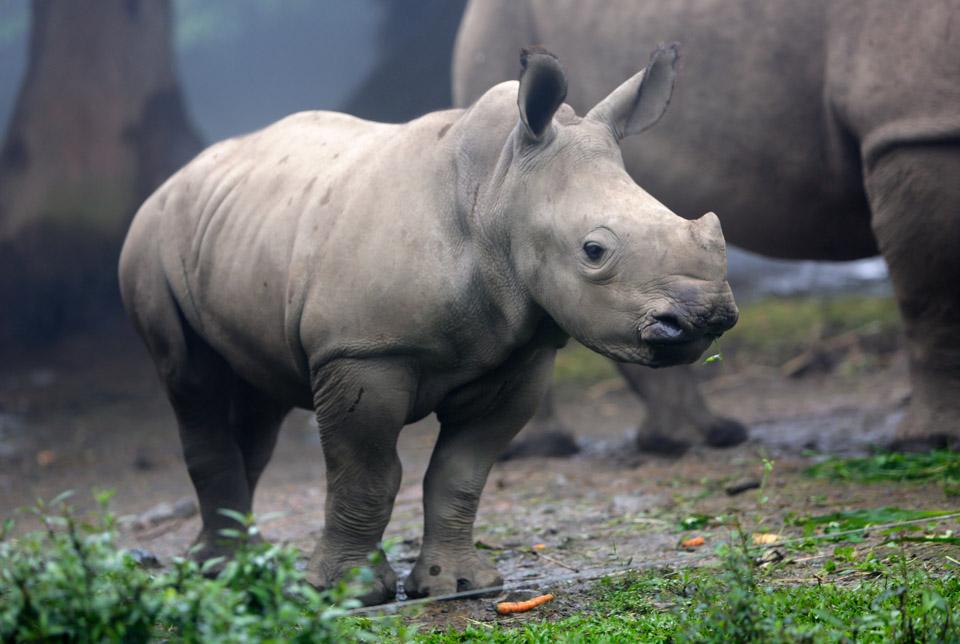 神话与历史:《西游记》玄英洞三妖是犀牛还是黄牛?——犀牛在中国逐渐消失的历史