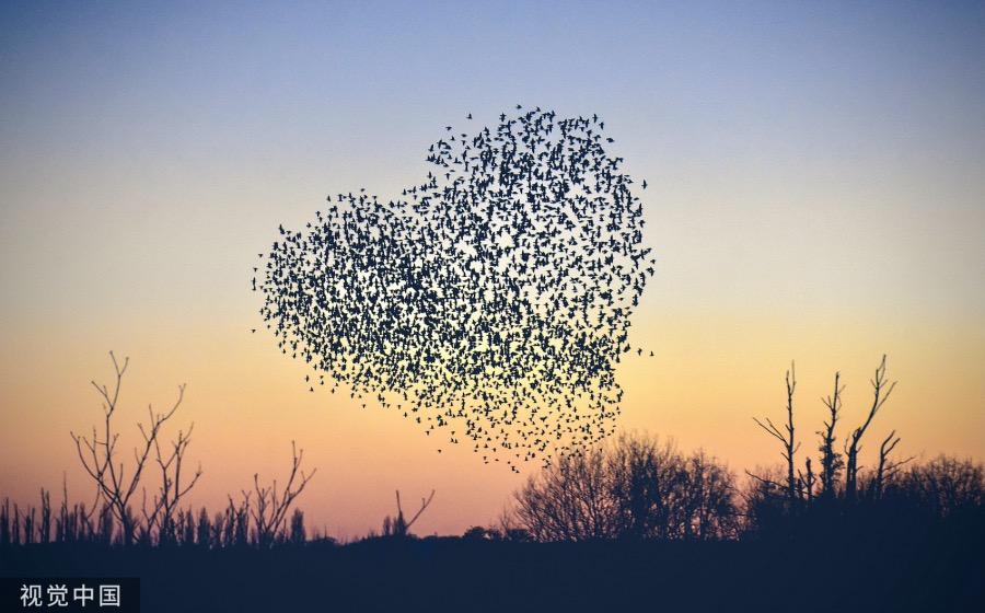 英国罗姆西,日落时分,当地空中飞舞的椋鸟组成了爱心的形状。
