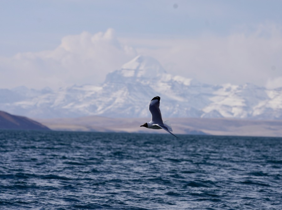 """在""""神山圣湖""""上飞翔的海鸥。"""