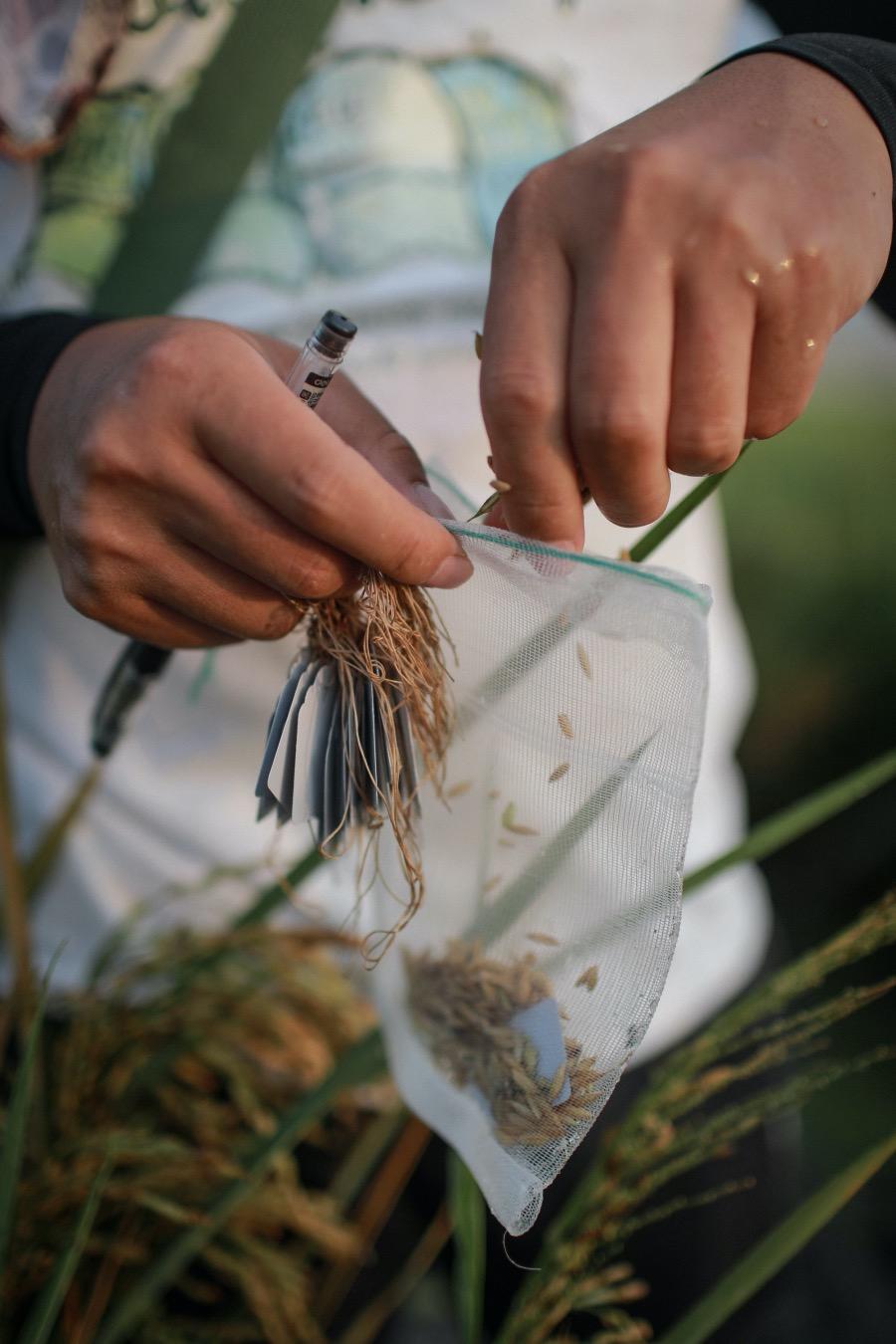 2021年4月6日,科研人員將選取的海水稻材料從稻穗上捋下,手工進行脫粒并裝袋。