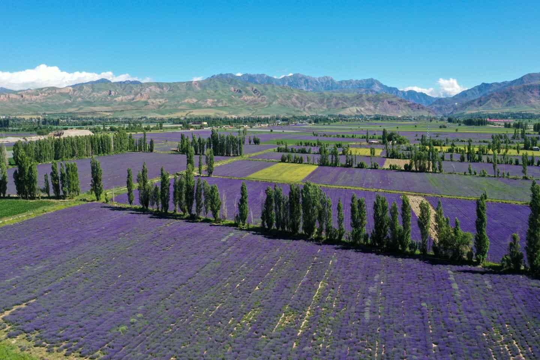新疆紫色花海綻放