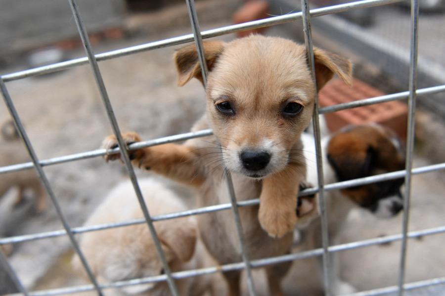 《流浪狗傷人長期投喂人要擔責,給愛心人士提了個醒》即使出于愛心而投喂、救助流浪動物,也有可能要承擔起動物損害的責任。圖為2021年5月7日,成都市雙流區一個動物救助中心被救助的狗只。