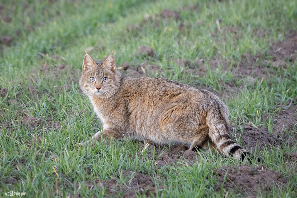 13 荒漠猫:地球上最神秘的猫科动物1.jpg
