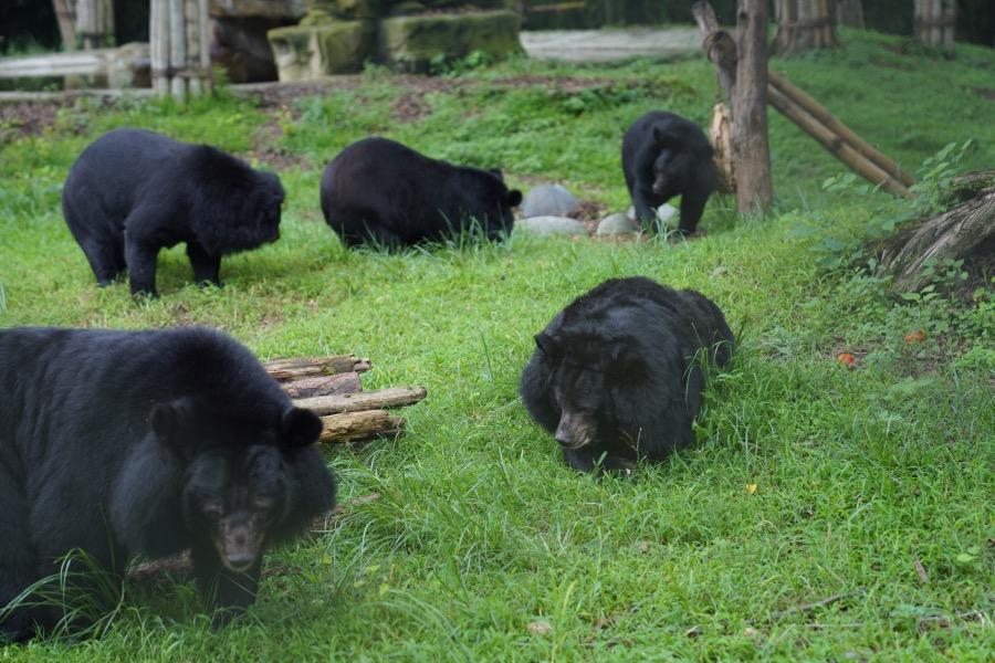 占地兩百多畝的救護中心為黑熊提供了一個安全的棲身所。