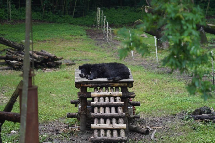 一只吃飽之后的黑熊正躺著休息。